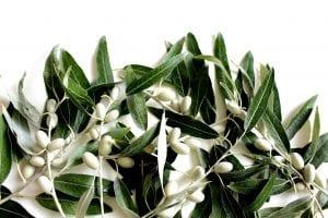 olive leaf, olives, plant